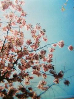 HOLGA写真/八重桜