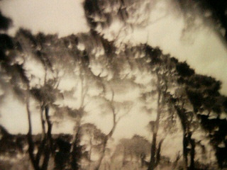 HOLGA写真/松の木々