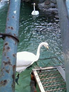携帯写メ/函館公園の白鳥さん